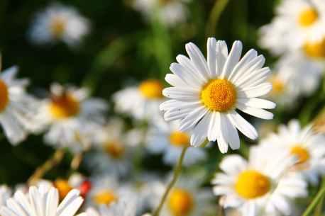 daisies-white-flower-face-59984.jpeg